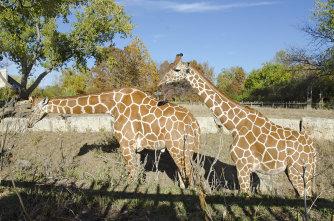Sedwick County Zoo Giraffe