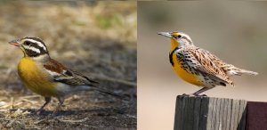 Our State Bird is the Western