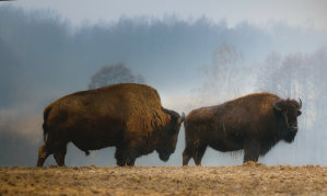 Our state animal is the buffal