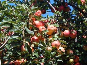 Entz Orchard