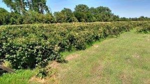 Sargeant's Berry Farm