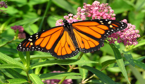 Wichita Participates in National Campaign to Save Monarchs